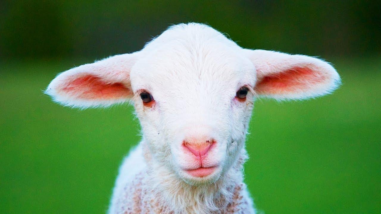 moutons guide de leleveur amateur