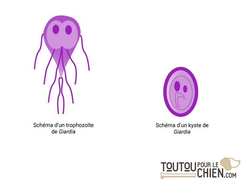 giardiose